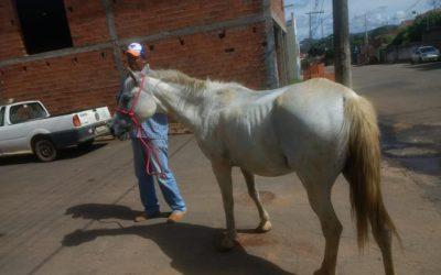 LEI DE APREENSÃO DE ANIMAL DE GRANDE PORTE COMEÇA A SER EXECUTADA